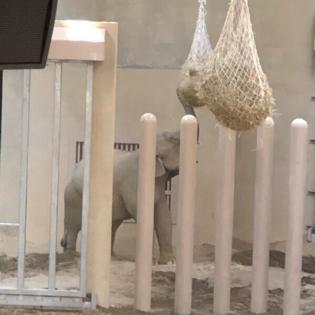 円山動物園のゾウ公開!というわけで早速観てきた【円山の歩き方】